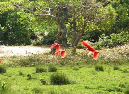 Tag 5-Amazonas Marajó Rote Ibisse