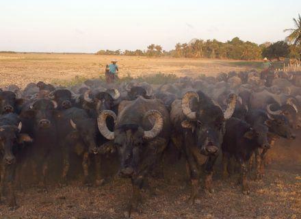 Tag 3-Amazonas Marajó Wasserbüffel