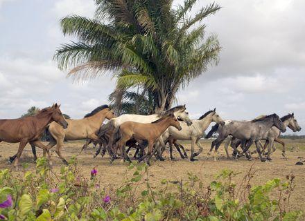 Tag 6-Amazonas Marajoara Pferde