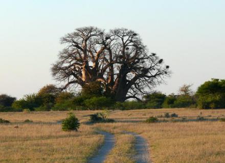 Tag 5 Chapman's Baobab-