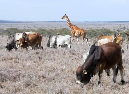 Tag 3-Borana Rinder mit Giraffe