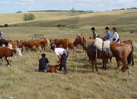 Tag 7 Gaucho-Arbeit mit Rindern und Schafen-
