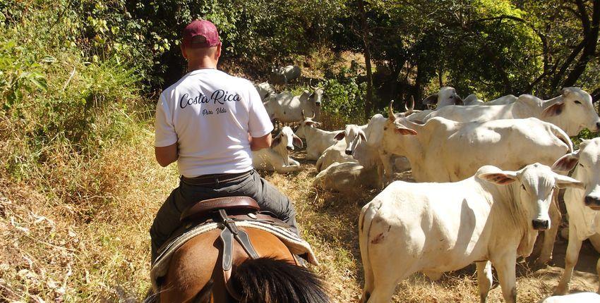 Costa Rica Reiturlaub mit Rinderarbeit