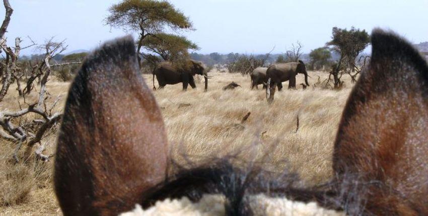 Wildbeobachtungen am Fuß des Kilimanjaro