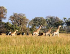 Okavango Delta - Reiter und Giraffen