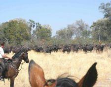 Begegnung mit Büffelherde im Okavango Delta