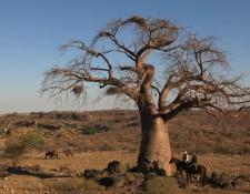 Tuli Block - Baobab-Baum