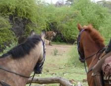 Tuli Block - Begegnung  mit Hyäne