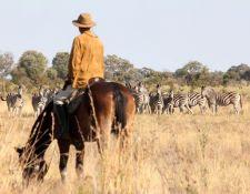 Neugierige Zebras beobachten den Reiter