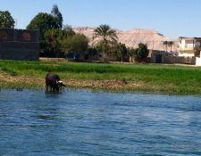 Büffel am Nil