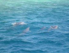 Delfine im Roten Meer
