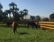 Luxor - Pferde im Paddock