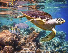 Schildkröten im Roten Meer